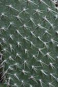 Opuntia cactus (Opuntia sp)