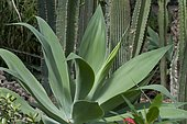Swan neck Agave (Agave attenuata)