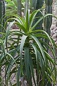Soap Aloe (Aloe saponaria)