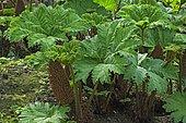 Giant rhubarb (Gunnera manicata)