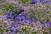 Association Pensée (Viola x wittrockiana) et Myosotis des Alpes (Myosotis alpestris) en fleurs