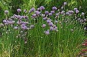Chive (Allium schoenoprasum) in bloom