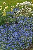 Forget-me-not, Alpine (Myosotis alpestris) 'Bluesylva' in bloom