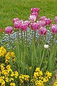 Tulip (Tulipa sp) 'Georgette' and Wallflower (Cheiriantus sp) in bloom