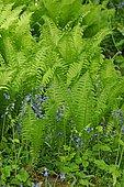 Fern (Dryopteris sp) and Bellflower (Campanula sp) in bloom