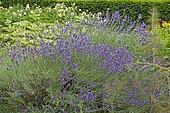 Fine Lavender (Lavandula officinalis) in bloom