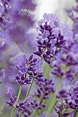 Fine Lavender (Lavandula angustifolia)