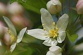 Crabapple (Malus transitoria) flower