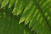 Clinton Woodfern (Dryopteris clintoniana)