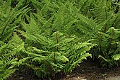 Soft shield fern (Polystichum setiferum)