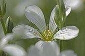 Snow in summer (Cerastium tomentosum) flower