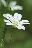 Field chickweed (Cerastium arvense) flower