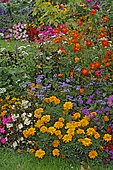 Summer flower bed : Vervain (Verbena sp), Sulphur cosmos (Cosmos sulphureus), Impatiens (Impatiens sp), Zinnia (Zinnia sp), Agerate (Ageratum sp), Begonia (Begonia sp), Marigold (Tagetes sp), in bloom