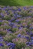 Massif de Myosotis des Alpes (Myosotis alpestris) et Pensées (Viola sp) en fleurs