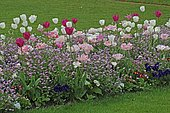 Association of mixed Tulips (Tulipa sp) and forget-me-not pink (Myosotis sp) in bloom