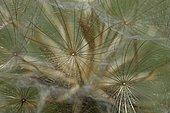 Common dandelion (Taraxacum officinale) seed