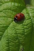 Sevenspotted lady beetle (Coccinella septempunctata) on a leaf