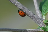 Sevenspotted lady beetle (Coccinella septempunctata) on a stem