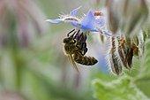 Abeille à miel (Apis mellifera) butinant une fleur de Bourrache officinale (Borago officinalis)