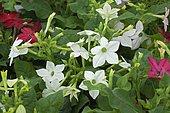 Ornamental tobacco (Nicotiana sp) in bloom