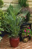 European fan palm (Chamaerops humilis) in pot