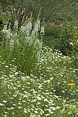 White flower bed: Achillea (Achillea sp), California poppy (Eschscholzia californica), Fireweed (Epilobium angustifolium). Garden of the Zephyr. France