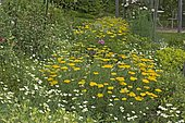 Yellow flower bed: Achillea (Achillea sp), California poppy (Eschscholzia californica), Rose (Rosa sp). Garden of the Zephyr. France