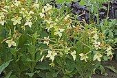 Flowering Tobacco (Nicotiana sanderae) 'Perfuma Antique Lime' in bloom