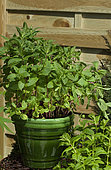 Mint (Mentha sp) in pot