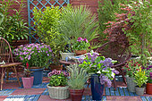 Flowered terrace in spring: Blue Oat Grass (Helictotrichon sempervirens), Lilac (Syringa sp), Pelargonium (Pelargonium sp), Groundsel (Senecio sp) in pot