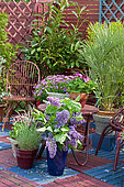 Flowered terrace in spring: Blue Oat Grass (Helictotrichon sempervirens), Lilac (Syringa sp), European fan palm (Chamaerops humilis), Groundsel (Senecio sp) in pot