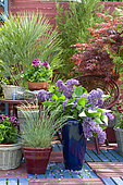 Flowered terrace in spring: Blue Oat Grass (Helictotrichon sempervirens), Lilac (Syringa sp), European fan palm (Chamaerops humilis), Japanese Maple (Acer palmatum) in pot