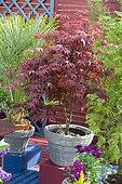 Flowered terrace in spring: Japanese Maple (Acer palmatum) 'Atropurpureum' in pot