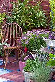 Flowered terrace in spring: Blue Oat Grass (Helictotrichon sempervirens), Pelargonium (Pelargonium sp), Groundsel (Senecio sp) in pot
