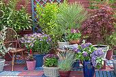 Flowered terrace in spring: Blue Oat Grass (Helictotrichon sempervirens), Lilac (Syringa sp), European fan palm (Chamaerops humilis), Japanese Maple (Acer palmatum), (Senecio sp) in pot