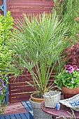 Flowered terrace in spring: European fan palm (Chamaerops humilis) in pot