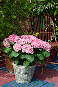 Hydrangea (Hydrangea sp) in a pot on a terrace