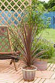 Cordyline (Cordyline sp) in pot on a flowered terrace in spring