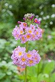 Japanese primrose (Primula japonica) in bloom in spring