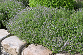 Large Thyme (Thymus pulegioides) in bloom in spring