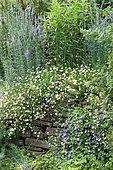 Latin American fleabane (Erigeron karvinskianus) and association of perennial geranium (Geranium sp) and Oceanblue morning-glory (Ipomoea indica) in bloom