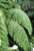 Mexican Tree Fern (Cibotium schiedei) foliage
