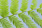 Tree fern (Dicksonia antartica) leaves