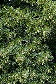 Largeleaf linden (Tilia platyphyllos) in bloom