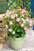 Ornamental tobacco (Nicotiana sanderae forgetiana) 'Domino Salmon Pink' in pot