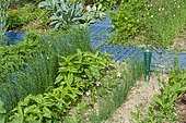 Sweet basil (Ocimum basilicum) and Chive (Allium schoenoprasum) in a flowered vegetable garden