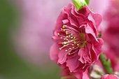 Pêcher (Prunus persica) détail d'une fleur, étamine