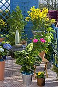 Flowered balcony : Broom (Genista sp), Monstera (Monstera sp), Pelargonium (Pelargonium sp), Dieffenbachia (Dieffenbachia sp) Primerose (Primula sp) Geranium (Pelargonium sp) in spring