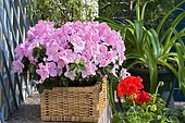 Flowered balcony : Azalea (Rhododendron sp) in spring