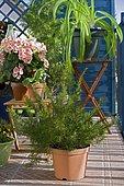 Flowered balcony : Grévillea (Grevillea juniperina) in spring